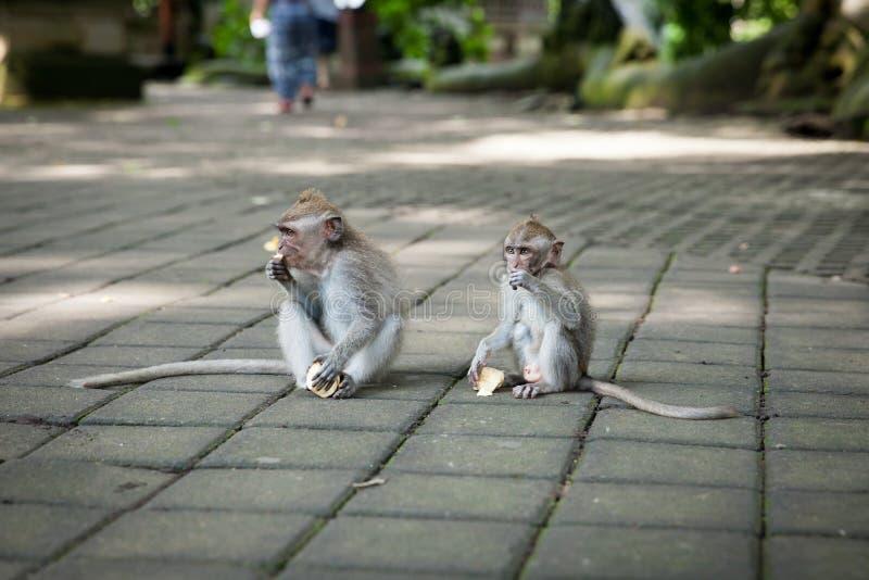 Scimmia a coda lunga di balinese alla scimmia Forest Sanctuary, Ubud fotografia stock libera da diritti