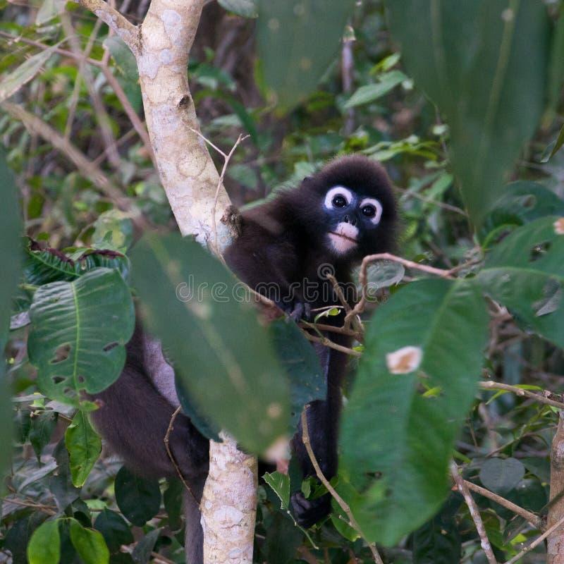 Scimmia con gli anelli blu intorno agli occhi che scalano un albero nella foresta pluviale della Malesia, Penang immagine stock