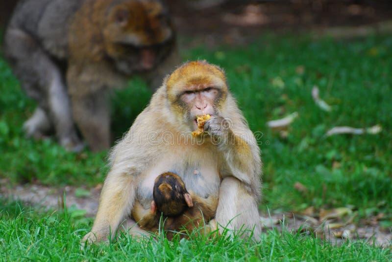 Scimmia con il cub immagini stock libere da diritti
