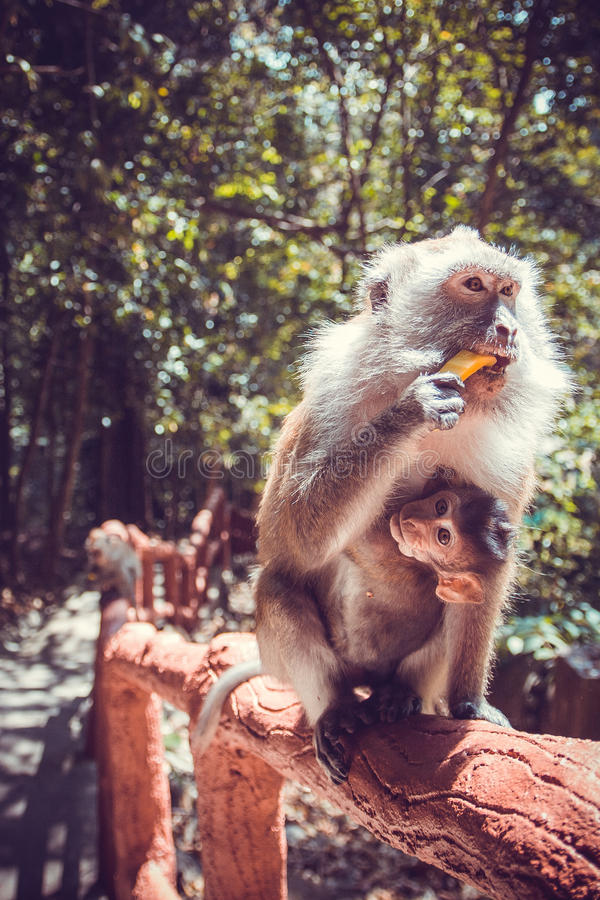 Scimmia con il suo bambino immagini stock