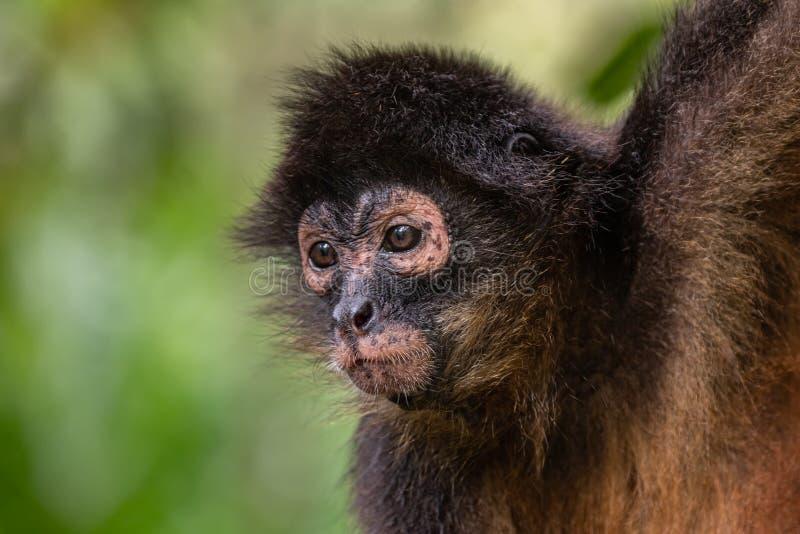 Scimmia in Costa Rica fotografie stock