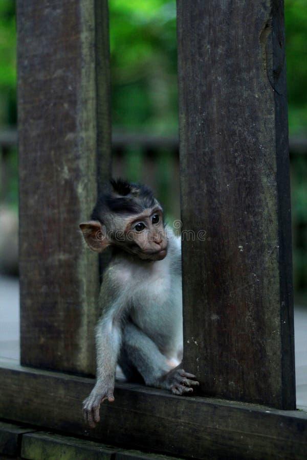 Scimmia curiosa fotografia stock libera da diritti