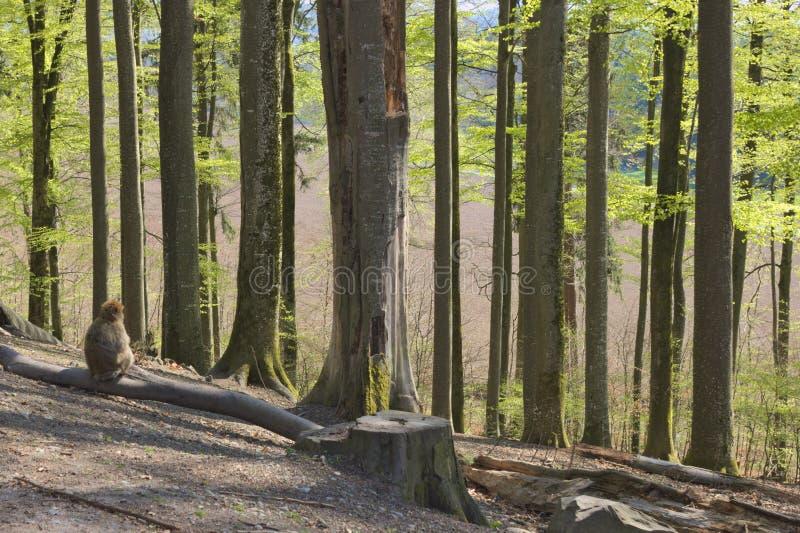 Scimmia da solo in foresta fotografia stock libera da diritti