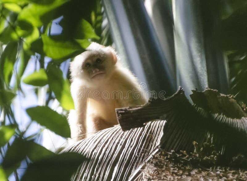 Scimmia dal petto bianco giovanile del cappuccino fotografia stock