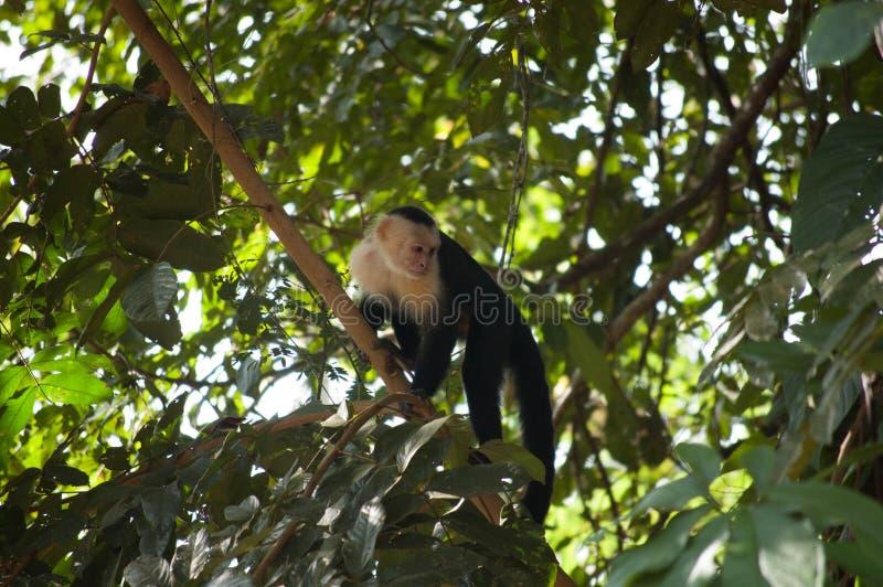 scimmia dalla testa bianco in albero fotografia stock