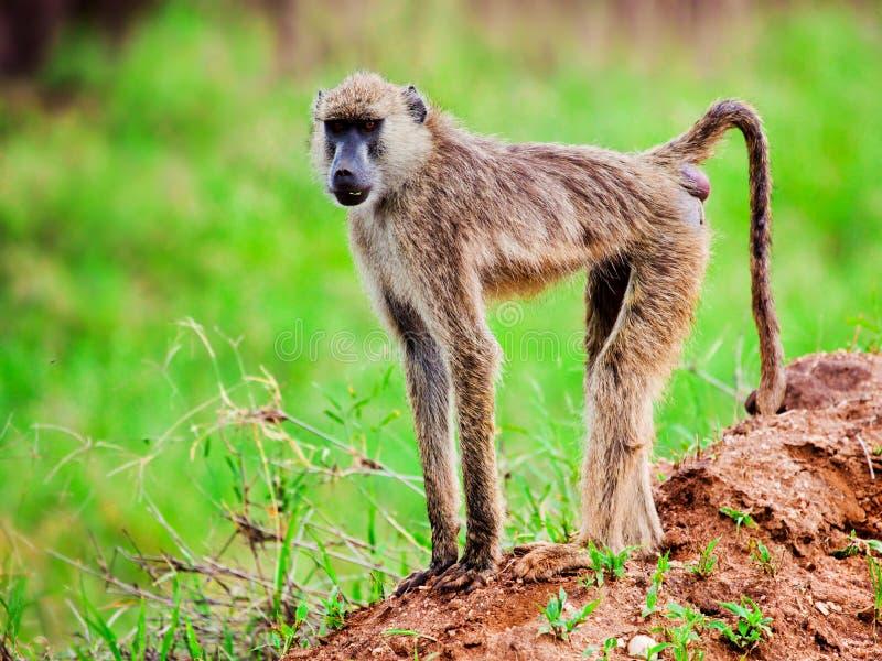 Scimmia del babbuino in cespuglio africano. Il Kenia immagini stock libere da diritti