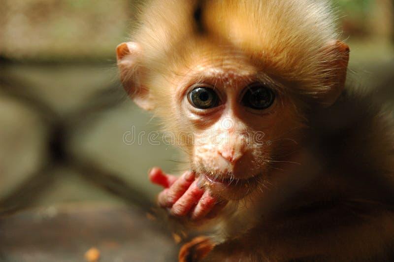 Scimmia del bambino fotografia stock libera da diritti