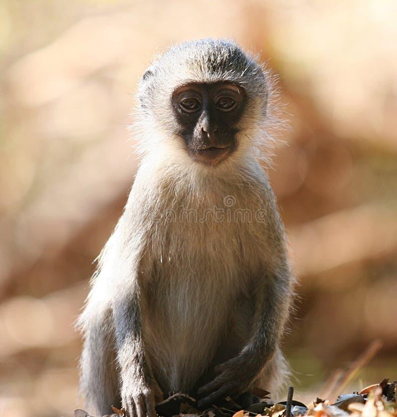 Download Scimmia del bambino immagine stock. Immagine di poco, gioventù - 205123