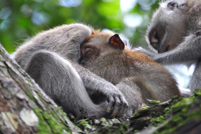 Scimmia del bambino che dorme bene in Bossom della madre fotografia stock