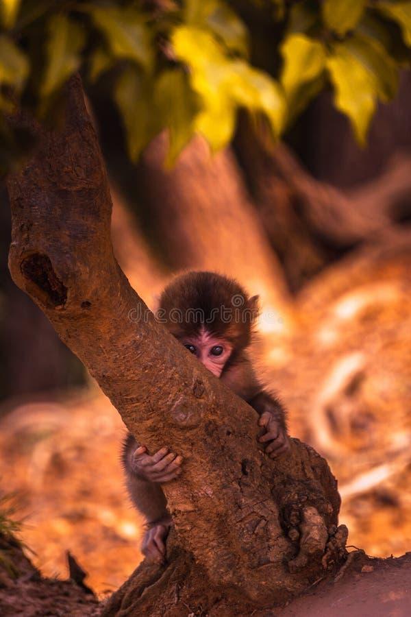 Scimmia del bambino che si nasconde sotto un albero con curiosità e timore nei suoi occhi fotografie stock libere da diritti