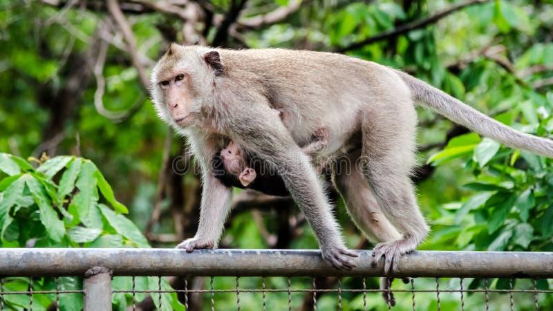Scimmia del bambino e della madre sul francese del metallo immagini stock