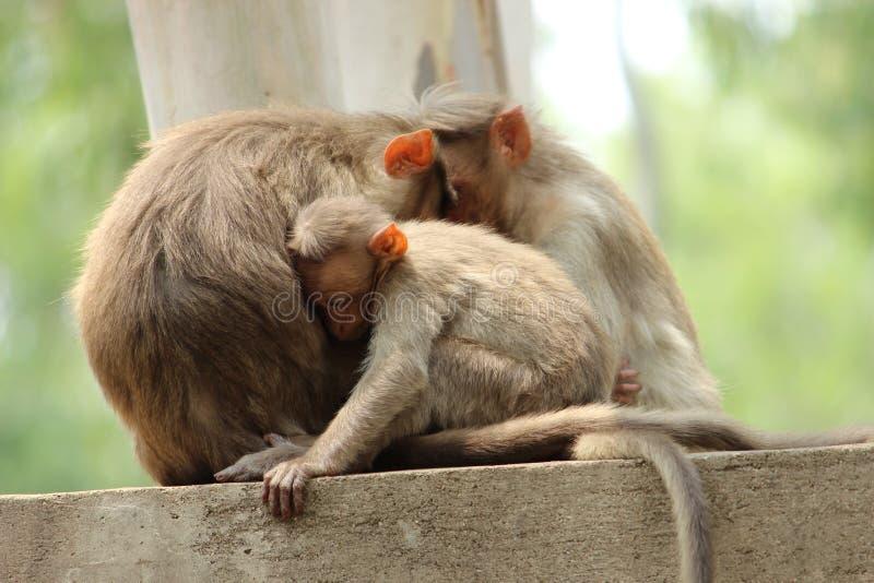 Scimmia del bambino e del genitore che si siede sulla parete immagine stock libera da diritti