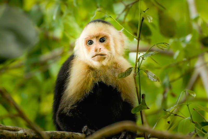 Scimmia del cappuccino fotografie stock libere da diritti