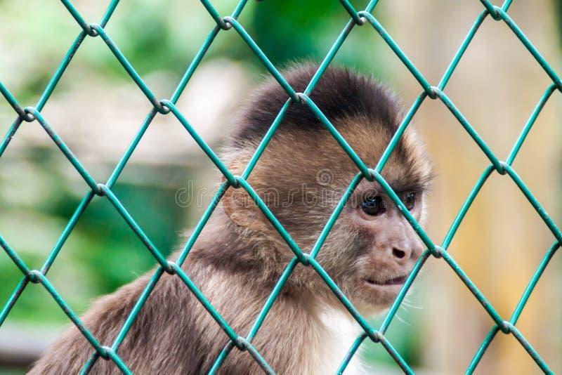Scimmia del cappuccino fotografia stock libera da diritti