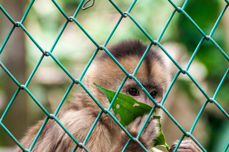 Scimmia del cappuccino fotografia stock