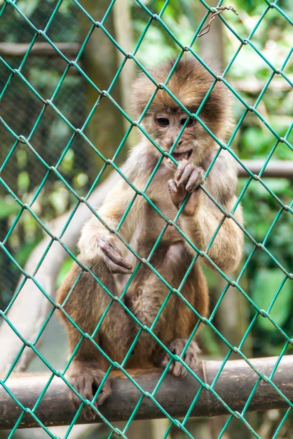 Scimmia del cappuccino immagini stock