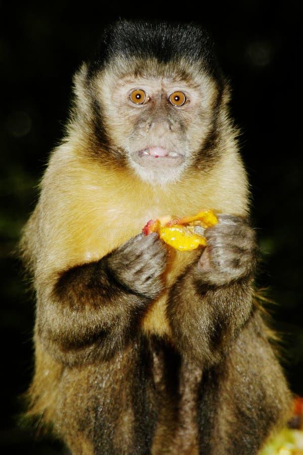 Scimmia del Capuchin fotografie stock
