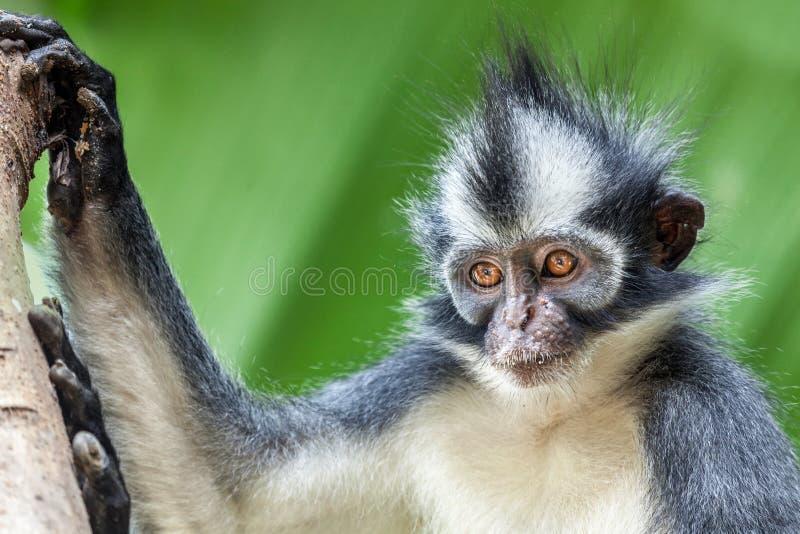 Scimmia del foglio del Thomas fotografia stock libera da diritti