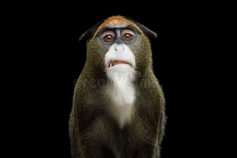 Scimmia del ` s di De Brazza fotografia stock