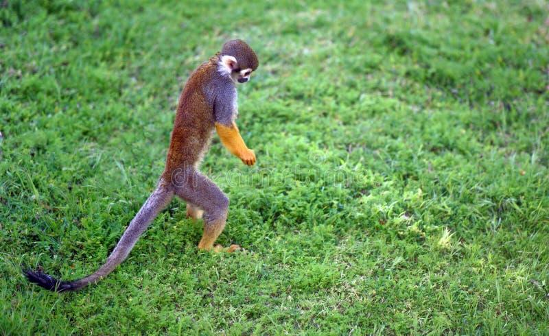 Scimmia del Saimiri che cerca qualcosa fotografia stock