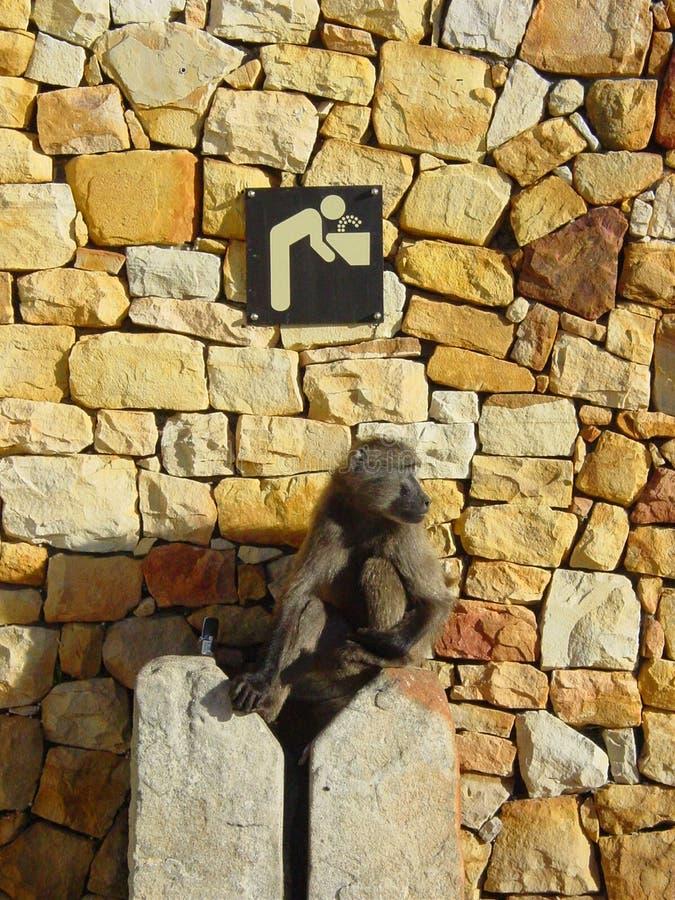 Scimmia dell'acqua immagine stock