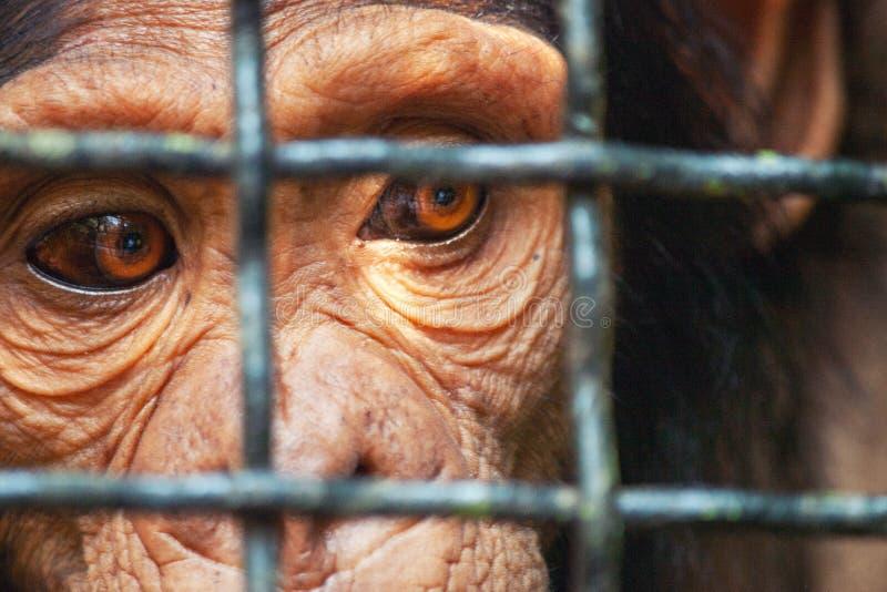 Scimmia dell'occhio umano bloccata in una gabbia immagine stock libera da diritti