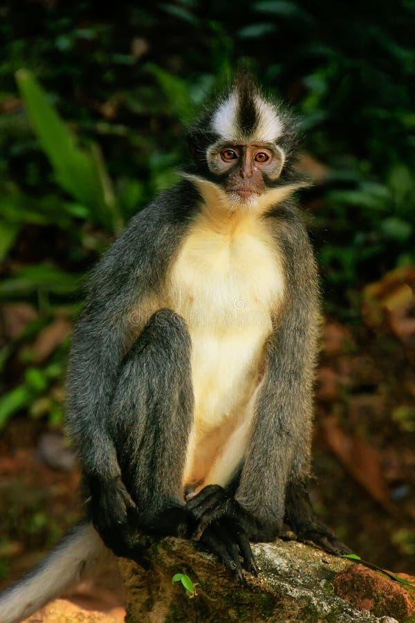 Scimmia della foglia di Thomas che si siede sulla terra nella nazione di Gunung Leuser fotografie stock libere da diritti