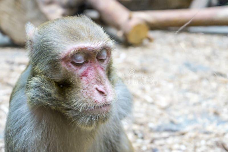 Scimmia della foto allo zoo Primo piano del fronte della scimmia fotografia stock libera da diritti