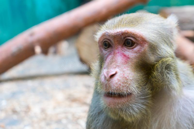 Scimmia della foto allo zoo Primo piano del fronte della scimmia fotografia stock
