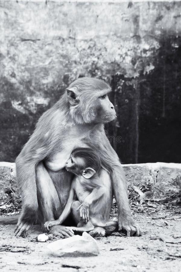 Scimmia della madre immagine stock