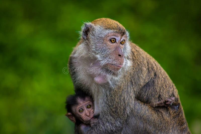 Scimmia della madre che allatta al seno il suo bambino immagini stock libere da diritti