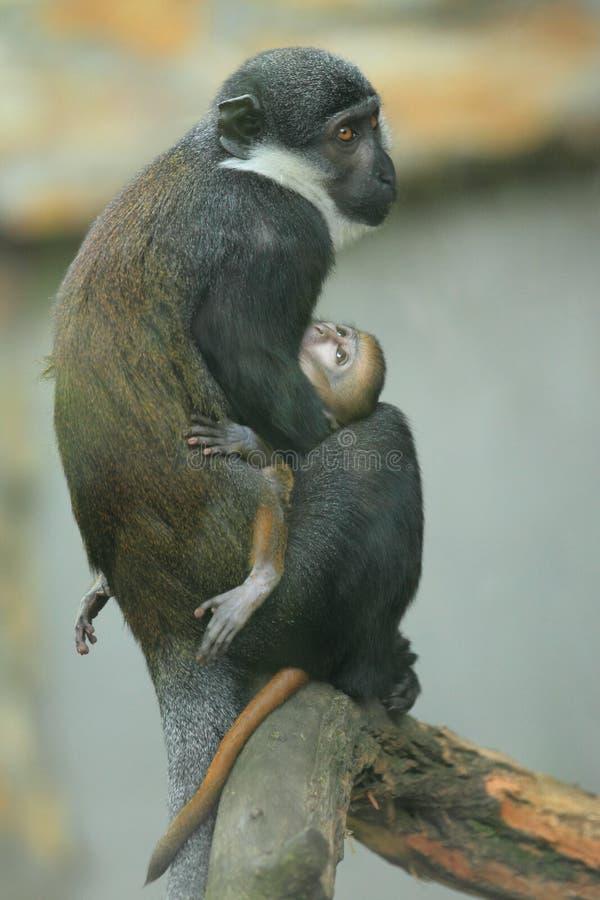 Scimmia della montagna fotografia stock libera da diritti