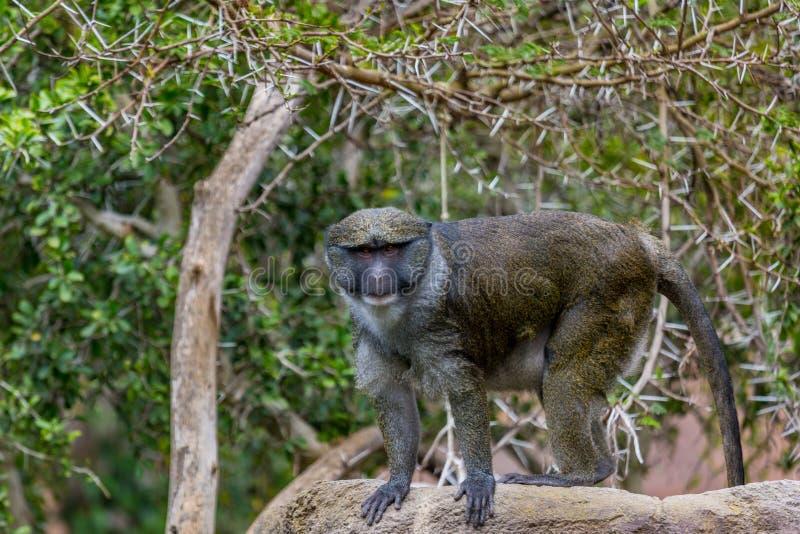 Scimmia della palude fotografia stock libera da diritti