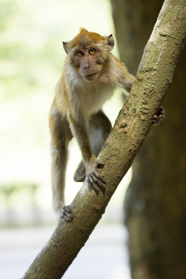 Scimmia di ?urious immagine stock libera da diritti