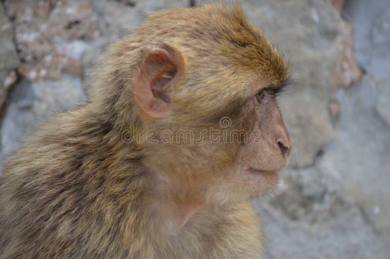 Scimmia di Barbary fotografie stock libere da diritti