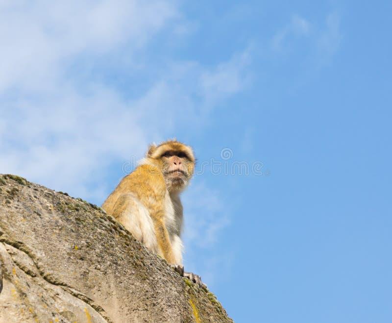 Scimmia di Berber fotografia stock