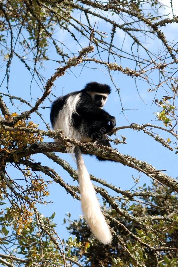 Scimmia di Colobus immagine stock libera da diritti