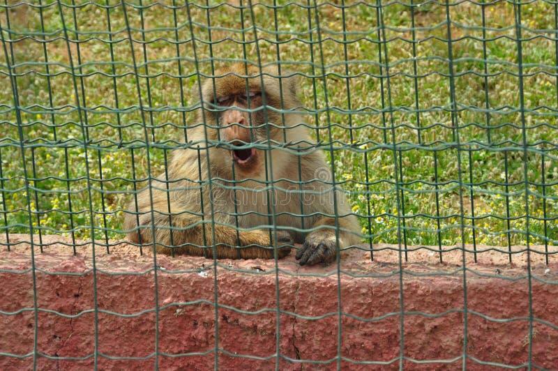 Scimmia di macaco fotografia stock libera da diritti
