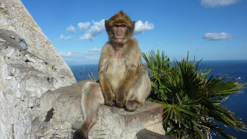 Scimmia di macaco in Gibilterra fotografia stock libera da diritti