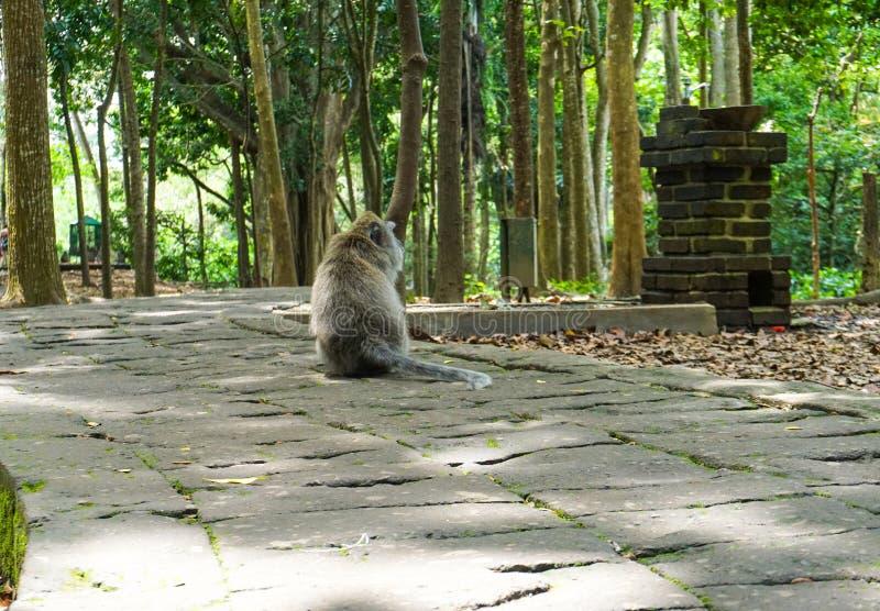 Scimmia di macaco sola che si siede sulla grande pietra che aspetta il suo amico nel giardino fotografia stock