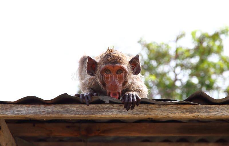 Scimmia di macaco sul tetto immagini stock libere da diritti