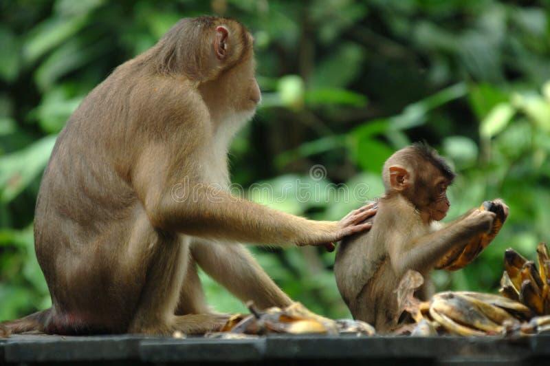 Scimmia di Macaque con il bambino, Borneo, Asia fotografia stock