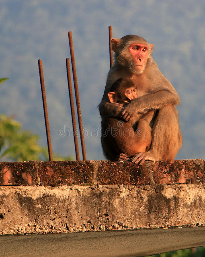 Scimmia di mamma con la scimmia del bambino fotografia stock libera da diritti