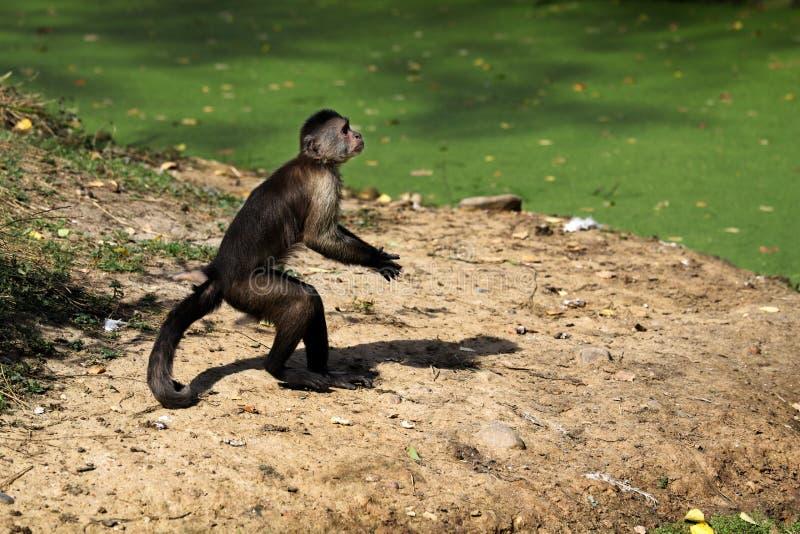 Scimmia di nuovo mondo dalla testa bianco stante del cappuccino della sottofamiglia Cebinae fotografie stock libere da diritti