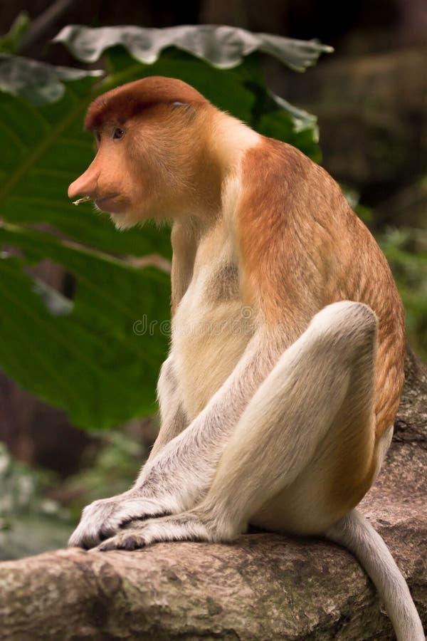Scimmia di Proboscis immagini stock libere da diritti