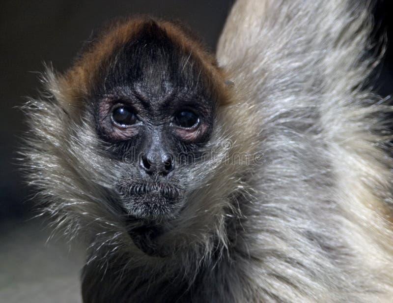 Scimmia di ragno immagine stock libera da diritti