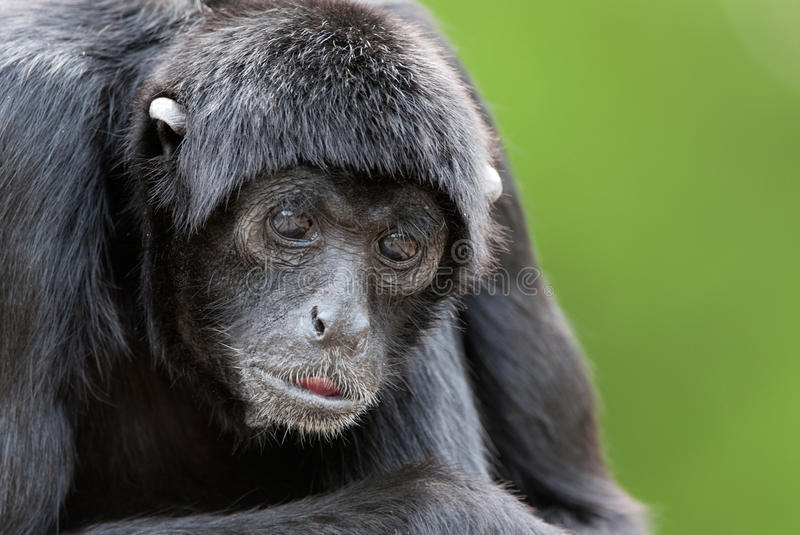 Scimmia di ragno immagine stock