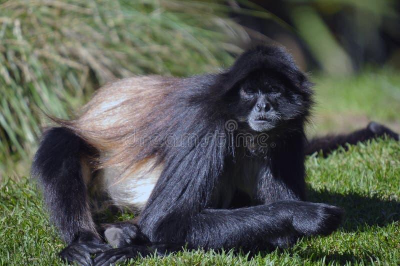 Scimmia di ragno colombiana immagine stock libera da diritti
