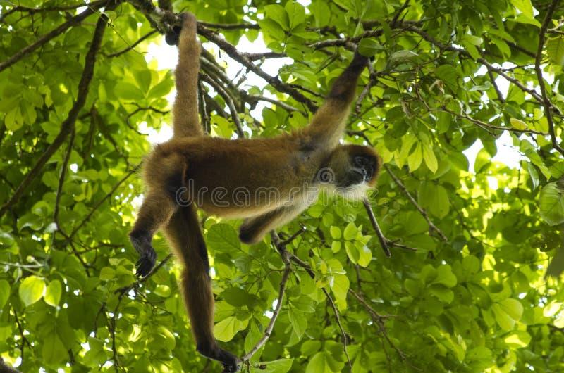 Scimmia di ragno Costa Rica fotografia stock libera da diritti