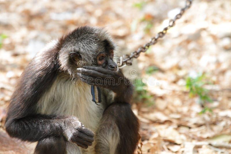 Scimmia di ragno del Geoffroy (geoffroyi del Ateles) immagine stock